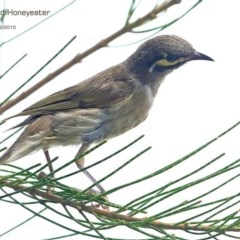 Caligavis chrysops (Yellow-faced Honeyeater) at Ulladulla Wildflower Reserve - 11 Feb 2015 by Charles Dove