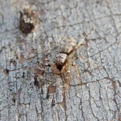 Arasia mollicoma (Flat-white Jumping Spider) at Aranda Bushland - 11 Jul 2018 by CathB