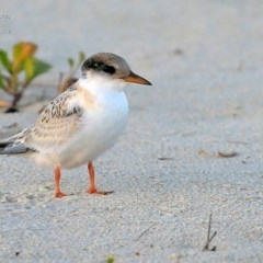 Sternula albifrons (Little Tern) at Cunjurong Point, NSW - 3 Feb 2015 by CharlesDove