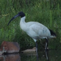 Threskiornis molucca (Australian White Ibis) at Tidbinbilla Nature Reserve - 25 Jan 2015 by michaelb
