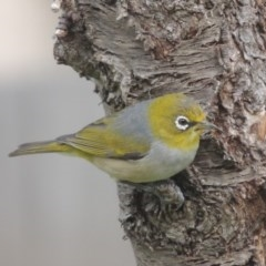 Zosterops lateralis (Silvereye) at Conder, ACT - 5 Sep 2017 by michaelb