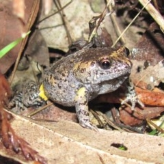 Uperoleia tyleri (Tyler's Toadlet) at Mossy Point, NSW - 2 Dec 2012 by HelenR