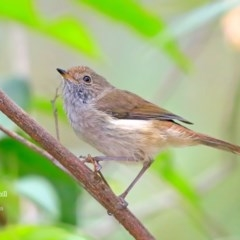 Acanthiza pusilla (Brown Thornbill) at Conjola Bushcare - 14 Dec 2015 by Charles Dove