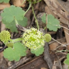 Hydrocotyle laxiflora (Stinking Pennywort) at Illilanga & Baroona - 14 Nov 2010 by Illilanga