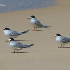 Sternula albifrons (Little Tern) at Cunjurong Point, NSW - 9 Dec 2015 by CharlesDove