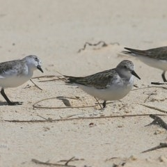 Calidris (Ereunetes) ruficollis (Red-necked Stint) at Cunjurong Point, NSW - 9 Dec 2015 by Charles Dove