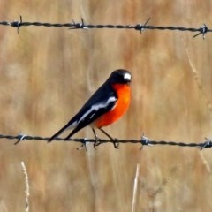 Petroica phoenicea (Flame Robin) at Paddys River, ACT - 12 Jul 2018 by RodDeb