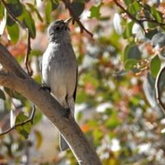 Colluricincla harmonica (Grey Shrike-thrush) at Gigerline Nature Reserve - 12 Jul 2018 by RodDeb