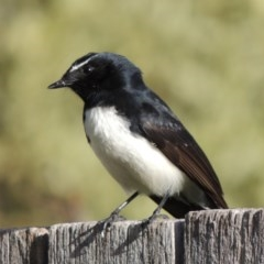 Rhipidura leucophrys (Willie Wagtail) at Conder, ACT - 30 Aug 2015 by michaelb