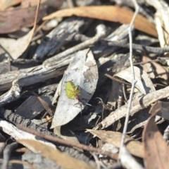 Iridomyrmex purpureus (Meat Ant) at Wamboin, NSW - 27 Apr 2018 by natureguy