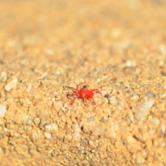 Trombidiidae sp. (family) (Red velvet mite) at Wamboin, NSW - 29 Apr 2018 by natureguy
