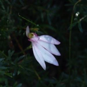 Caladenia picta at Conjola Bushcare - 13 Jul 2018