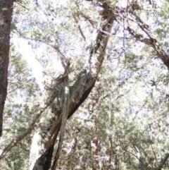 Tree hollows at Conjola Bushcare - 13 Jul 2018