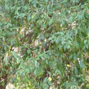 Elaeodendron australe var. australe at Conjola Bushcare - 13 Jul 2018