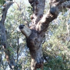 Tree hollows at Conjola Bushcare - 13 Jul 2018 by Stewart
