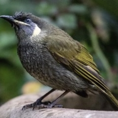 Meliphaga lewinii (Lewin's Honeyeater) at FS Private Property - 12 Jul 2018 by Stewart