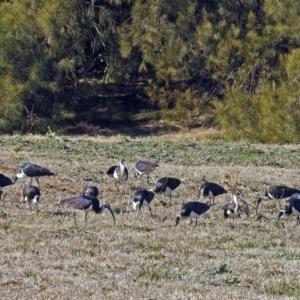 Threskiornis spinicollis at Jerrabomberra Wetlands - 13 Jul 2018