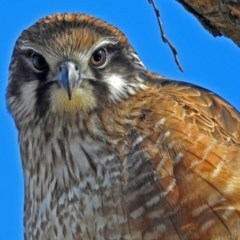 Falco berigora (Brown Falcon) at Jerrabomberra Wetlands - 13 Jul 2018 by RodDeb