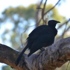 Corcorax melanorhamphos (White-winged Chough) at Wamboin, NSW - 9 Feb 2018 by natureguy