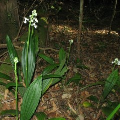 Calanthe triplicata (Christmas Orchid) at Termeil State Forest - 18 Dec 2015 by JackieMiles