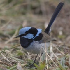 Malurus cyaneus (Superb Fairywren) at City Renewal Authority Area - 15 Jul 2018 by Alison Milton