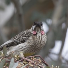 Anthochaera carunculata (Red Wattlebird) at City Renewal Authority Area - 15 Jul 2018 by Alison Milton