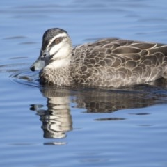 Anas superciliosa (Pacific Black Duck) at City Renewal Authority Area - 15 Jul 2018 by Alison Milton