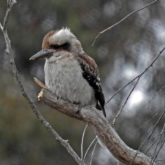 Dacelo novaeguineae (Laughing Kookaburra) at Jerrabomberra Wetlands - 16 Jul 2018 by RodDeb