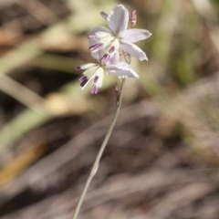Arthropodium milleflorum (Vanilla Lily) at Illilanga & Baroona - 4 Jan 2015 by Illilanga