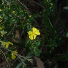 Hibbertia sp. (Guinea Flowe) at Ulladulla - Warden Head Bushcare - 16 Jul 2018 by Stewart