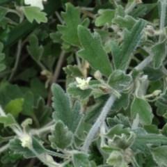 Xanthosia pilosa (Woolly Xanthosia) at Ulladulla - Warden Head Bushcare - 16 Jul 2018 by Stewart