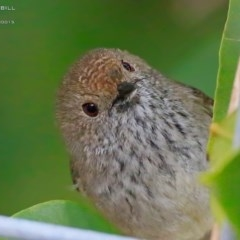 Acanthiza pusilla (Brown Thornbill) at Red Head Villages Bushcare - 27 Aug 2015 by Charles Dove