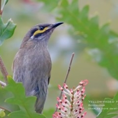 Caligavis chrysops (Yellow-faced Honeyeater) at Red Head Villages Bushcare - 22 Aug 2015 by Charles Dove
