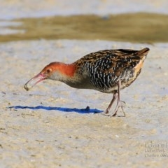Lewinia pectoralis pectoralis (Lewin's Rail) at Wairo Beach and Dolphin Point - 13 Aug 2015 by Charles Dove