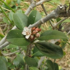 Rhaphiolepis umbellata (Yeddo hawthorn) at Cullendulla Creek Nature Reserve - 5 Oct 2017 by JackieMiles