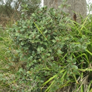 Rhaphiolepis umbellata at Cullendulla Creek Nature Reserve - 5 Oct 2017