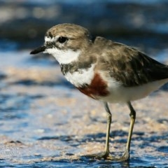 Charadrius bicinctus (Double-banded Plover) at South Pacific Heathland Reserve - 29 Jul 2015 by Charles Dove