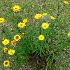 Xerochrysum bracteatum (Golden Everlasting) at Brogo, NSW - 28 Sep 2005 by MaxCampbell