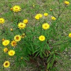 Xerochrysum bracteatum (Golden Everlasting) at Brogo, NSW - 28 Sep 2005 by MaxCampbell