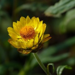 Xerochrysum bracteatum (Golden Everlasting) at Brogo, NSW - 7 May 2012 by MaxCampbell