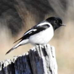 Melanodryas cucullata (Hooded Robin) at Googong Foreshore - 17 Jul 2018 by JohnBundock