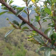 Pomaderris gilmourii var. gilmourii at Deua National Park - 13 Dec 2011 by JackieMiles
