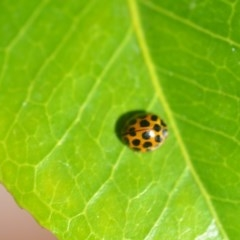 Harmonia conformis (Common Spotted Ladybird) at Wamboin, NSW - 29 Mar 2018 by natureguy