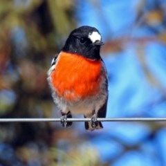 Petroica boodang (Scarlet Robin) at Googong Foreshore - 17 Jul 2018 by RodDeb