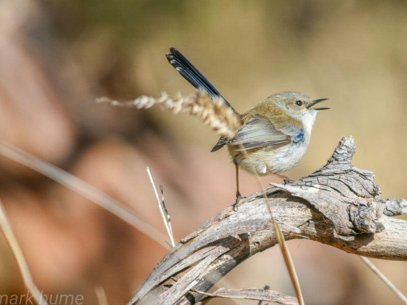 Malurus cyaneus at Jerrabomberra Wetlands - 18 Jul 2018