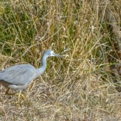Egretta novaehollandiae (White-faced Heron) at Jerrabomberra Wetlands - 18 Jul 2018 by frostydog