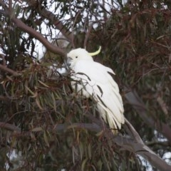 Cacatua galerita (Sulphur-crested Cockatoo) at Illilanga & Baroona - 15 Jul 2012 by Illilanga