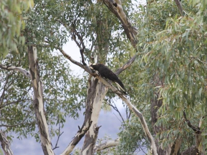 Calyptorhynchus funereus at Michelago, NSW - 2 Jun 2008