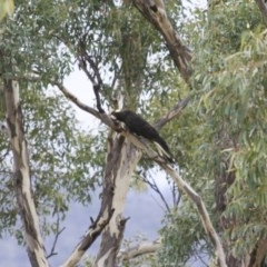 Zanda funereus (Yellow-tailed Black-Cockatoo) at Illilanga & Baroona - 2 Jun 2008 by Illilanga