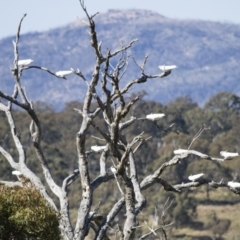 Cacatua galerita (Sulphur-crested Cockatoo) at Illilanga & Baroona - 23 Sep 2012 by Illilanga